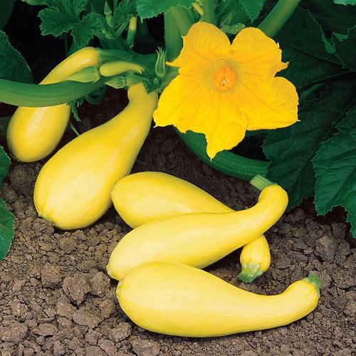 Gentry Hybrid Summer Squash Seed