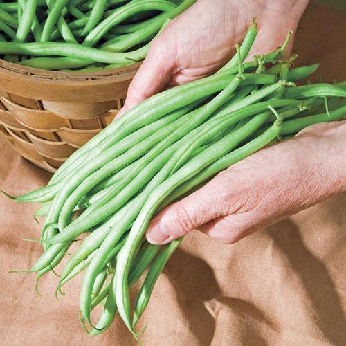 Pickin' & Grinnin' Bush Bean Seed