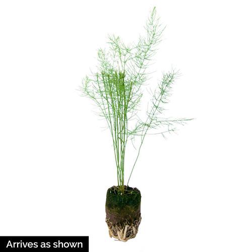 Purple Passion Asparagus Plant