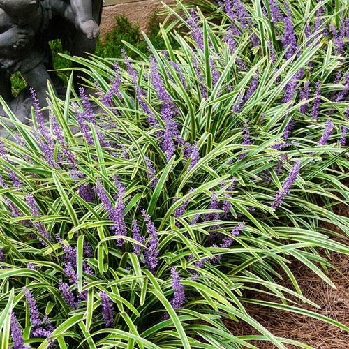 Variegated Liriope Plant