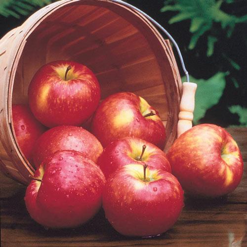 Honeycrisp Apple Tree