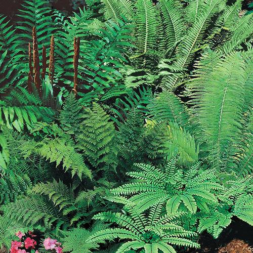 Mixed Hardy Fern Plant