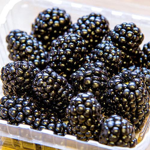Ponca Thornless Blackberry