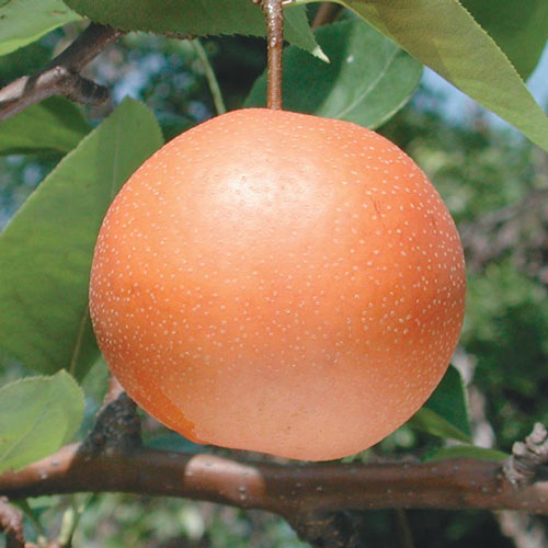 Chojuro Asian Pear Tree