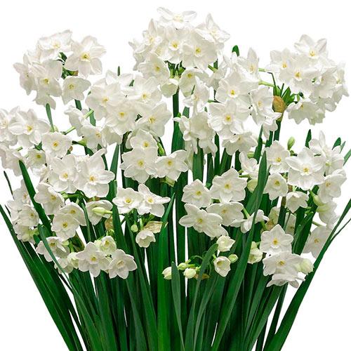 Paperwhite Narcissus Kit