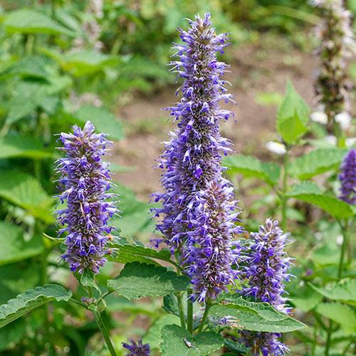 Purple Giant Hyssop Herb — Plant