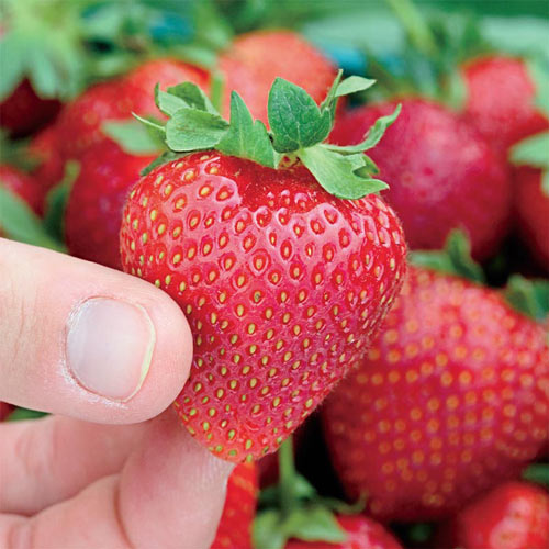Seascape Strawberry Plant