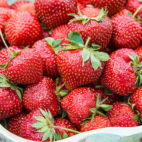Flavorfest Strawberry Plant