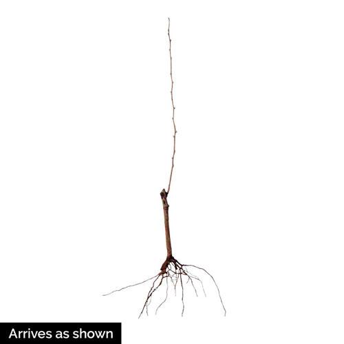 Ambrosia™ Pear Tree