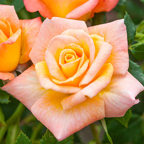 Cutie Pie™ Miniature Rose