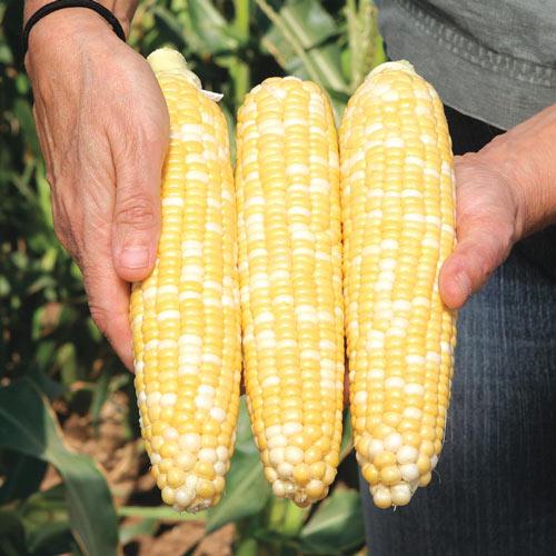 Gotta Have It<sup>®</sup> Hybrid Sweet Corn Seed