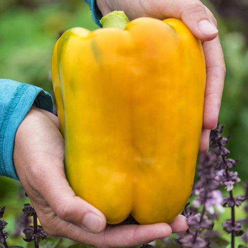Mega Gold Hybrid Sweet Pepper
