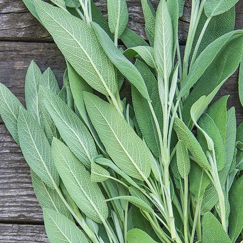 Sage Herb Seed