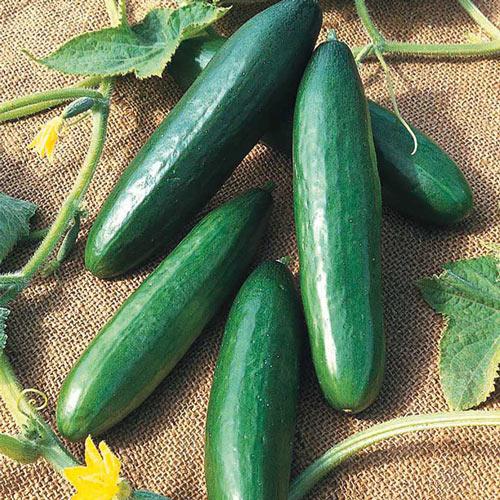 Diva Cucumber Seed