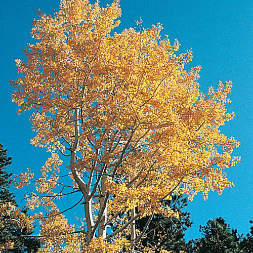 Quaking Aspen Tree
