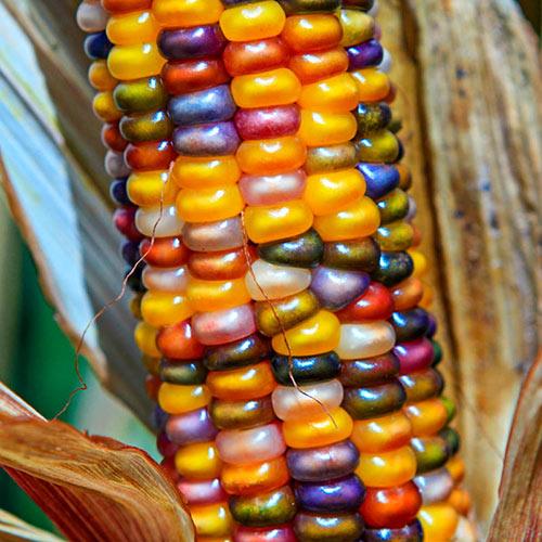 Glass Gem Ornamental Corn Seed