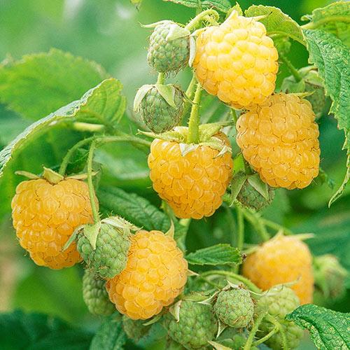 Anne Raspberry Plant