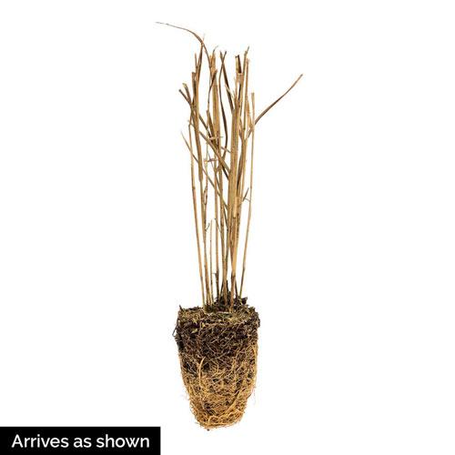 Hot Rod Switchgrass Plant