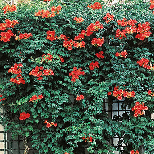 Orange Trumpet Vine Plant