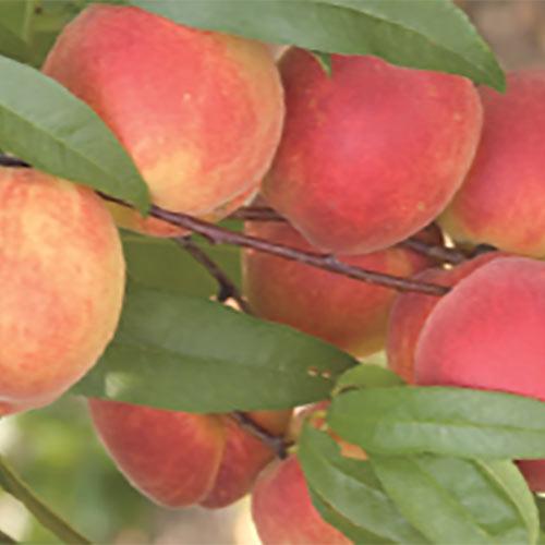 TruGold™ Peach Tree