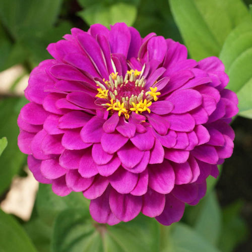 Purple Prince Zinnia Seed