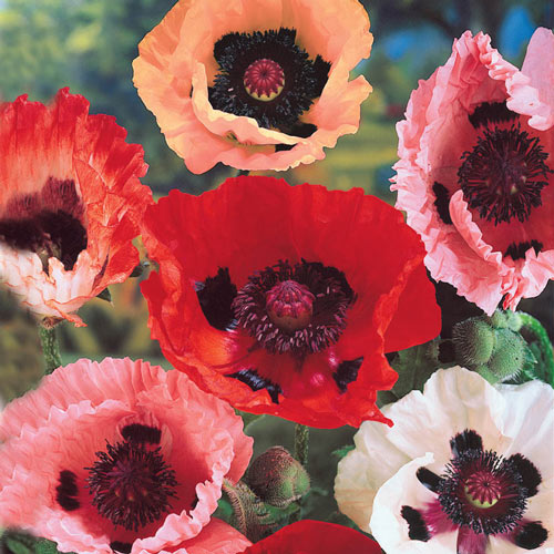 Mixed Oriental Poppies