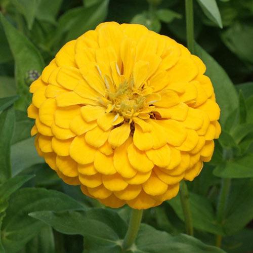 Canary Bird Zinnia Seed