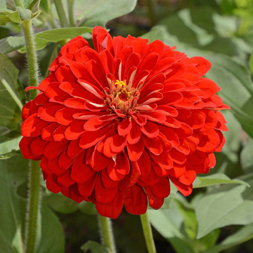 Scarlet Flame Zinnia Seed