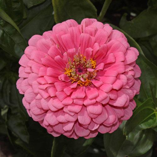 Rose Zinnia Seed