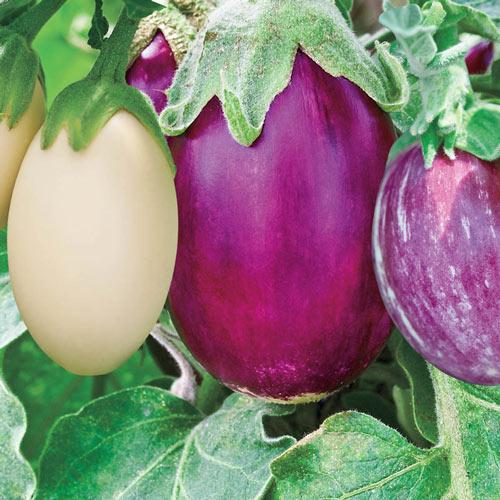 Stars & Stripes Hybrid Blend Eggplant Seed