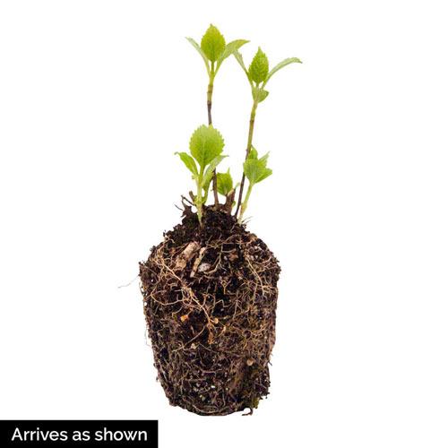 Star Gazer Hydrangea Plant