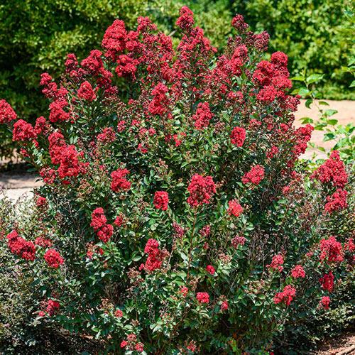 Enduring Summer Reblooming Crape Myrtle - Red