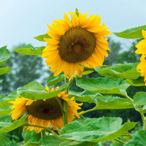 Super Snack Sunflower Seed