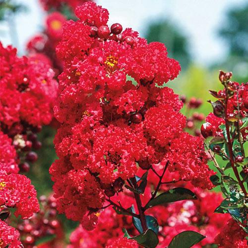 Ruffled Red Magic Reblooming Crape Myrtle Plant