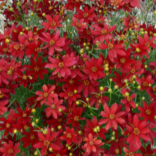 Hot Paprika Coreopsis Plant