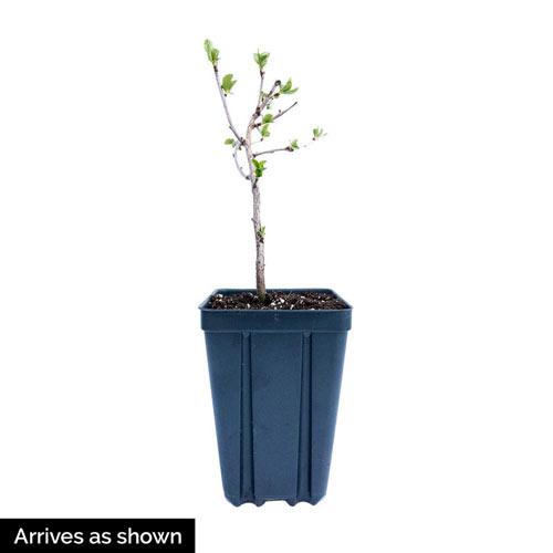 Carmine Jewel Dwarf Cherry Tree