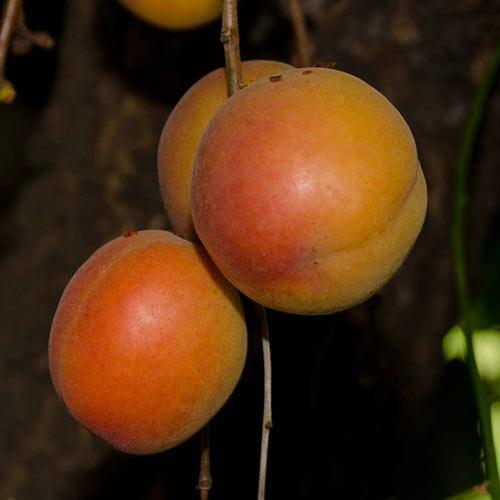 Katy Apricot Tree