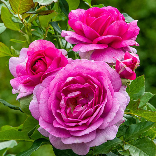 Perfume Factory<sup>™</sup> Hybrid Tea Rose