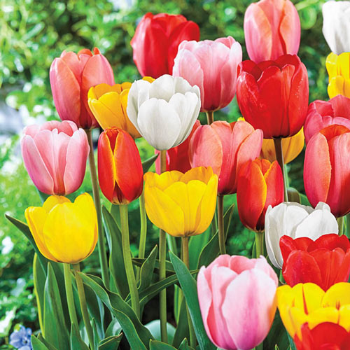 Mixed Long-Stemmed Perennial Tulips
