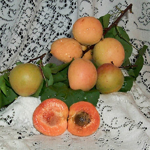 Montrose Apricot Tree