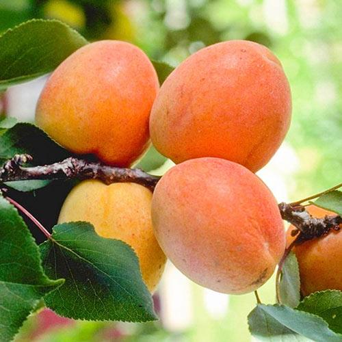 Tilton Apricot Tree