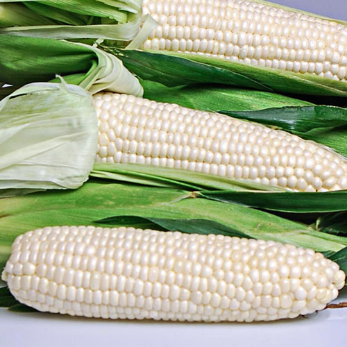 Eden Hybrid Sweet Corn Seed (sh2)