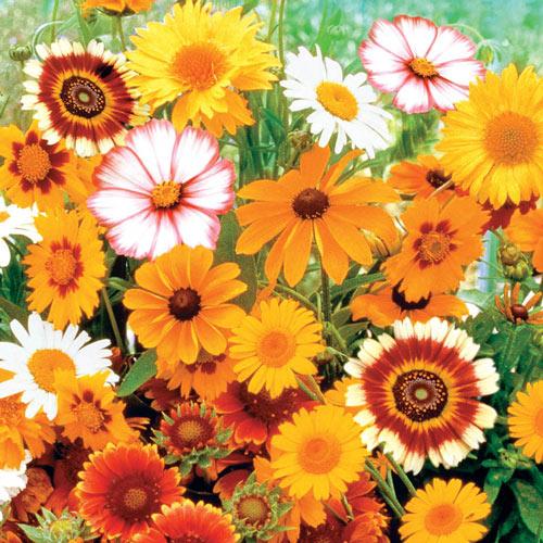 Daisy Seed Mix