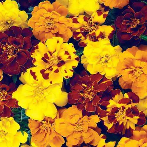 Marigold Durango Outback Seed Mix
