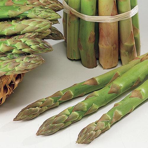 Jersey Giant Asparagus Plant