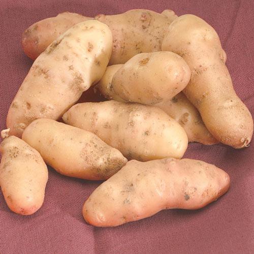 Rose Finn Potato