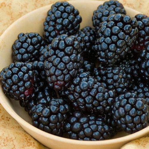 Natchez Blackberry Plant - Thornless