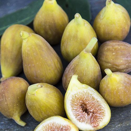 Hunt Fig Tree