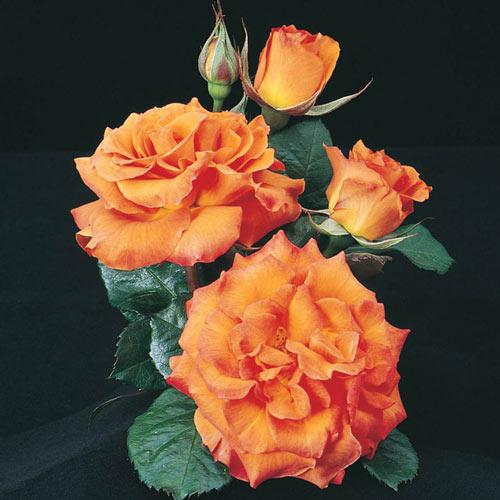 Gingersnap Floribunda Rose