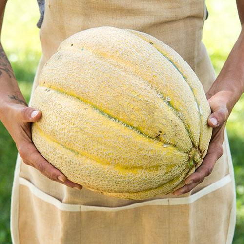 El Gordo Hybrid Melon Seed